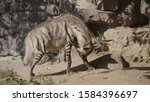 portrait of a spotted hyena in... | Shutterstock . vector #1584396697