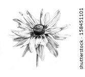 Black Eyed Susan Flower Drawin...
