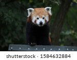 Portrait Of A Male Red Panda ...