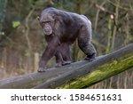 Female Western Chimpanzee ...