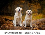 Labrador Dog Outdoors The Autumn