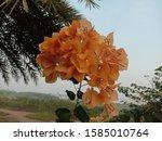 Orange Bougainvillea Flower...