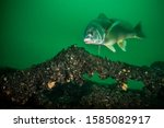 Freshwater Drum swimming over a shipwreck in the St. Lawrence River