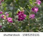 Vivid purple color of Leucophyllum frutescens or Texas Barometer Bush, other names; Texas Sage, Texas Ranger, Cenizo, Barometer Bush, Silverleaf, Purple Sage and Bertstar Dwarf.