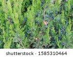 Branches Of Virginian Juniper ...