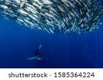 Striped Marlin And Sea Lion...