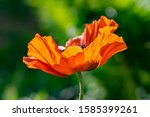 Macro Photo Of A Single Poppy...