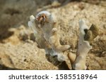 A little hermit crab in a white shell. Hermit crab on a sandy beach next to the coral. Hermit crab looks into the distance from the height of the coral.