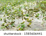 lotus leaves in the pond | Shutterstock . vector #1585606441