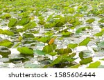 lotus leaves in the pond | Shutterstock . vector #1585606444