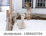 Funny cream coloured alpaca with wet mullet lying down contentedly in fresh snow in a pen, with two other animals in the background, Quebec City, Quebec, Canada