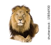 Stock photo lion and a half years panthera leo in front of a white background 15856930