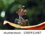 Dead Leaf Mantis On Branch...