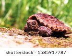 Baby Snapping Turtle On Rock.