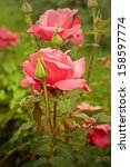 Stock photo red beautiful rose growing in the garden 158597774