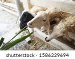Small photo of The white sheep and black sheep at farm