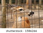 A Sitka Deer Behind A Wire...