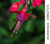 A Macro Shot Of A Fuchsia Bloom.