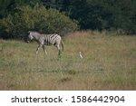 Burchell\'s Zebra With White...