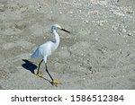 A Snowy Egret Struts Its Stuff...