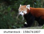 A Male Red Panda  Gawa  Eating...