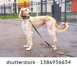 Small photo of Russian canine Greyhound breed hunting animals possesses wavy silk coat beautiful figure long subtler its feet narrow muzzle. Horizontal shot close-up portrait of dogs muzzle. Walking pet in autumn