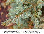 Blue Or Silver Spruce Needles...