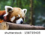 A Portrait Of A Red Panda...