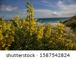 The Yellow Gorse Plant And Its...