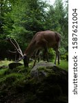 deer stag in autumn forest   Shutterstock . vector #1587621004
