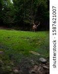 deer stag in autumn forest   Shutterstock . vector #1587621007