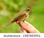Small photo of Common chiffchaff (Phylloscopus collybita) captured for study and banding, and subsequently released