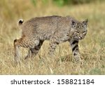Bobcat Stalking Prey Lynx Rufu...