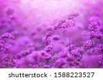 Beautiful Violet Verbena...