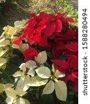 Christmas Flower Poinsettia Red ...
