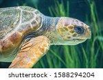Sea Turtle At Close Range On...