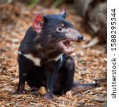Small photo of Tasmanian Devil, Crop to square. They are Australia�s largest living carnivorous marsupial. They are only wild in Tasmania but scientists have been calling for them to be reintroduced to the mainland.
