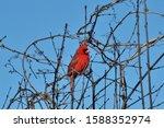 Majestic Red Cardinal Bird...