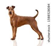Irish Terrier Dog Standing On...