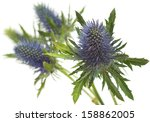 Eryngium Isolated On White