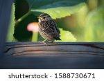 Chubby Little Sparrow Sitting...