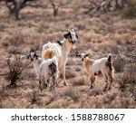 Feral Goats  Capra Hircus    ...
