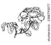 branch of rose flower. isolated ... | Shutterstock .eps vector #1588793077