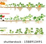 set of life cycles of gourd... | Shutterstock .eps vector #1588913491