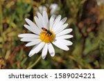 Hoverfly On Daisy  South...