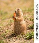 Black Tailed Prairie Dog Eating ...