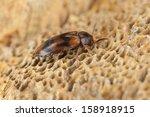 Small photo of False darkling beetle, Abdera flexuosa feeding on fungi, extreme close-up with high magnification