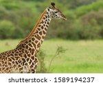 Closeup Of Masai Giraffe ...