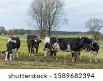 Small photo of Black and white dairy cows on pasture on aggro landscape background in autumn entourage. Black and white cows on a farmland. Rural Landscape of Cattle Grazing in a Green Field