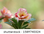 Beautiful Desert Rose Flowers ...